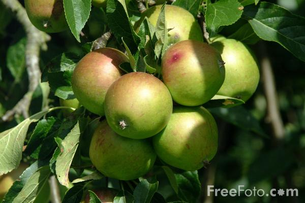 15_08_10---Apples_web