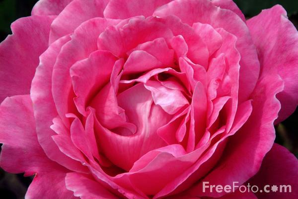 15_05_2---Rose_web