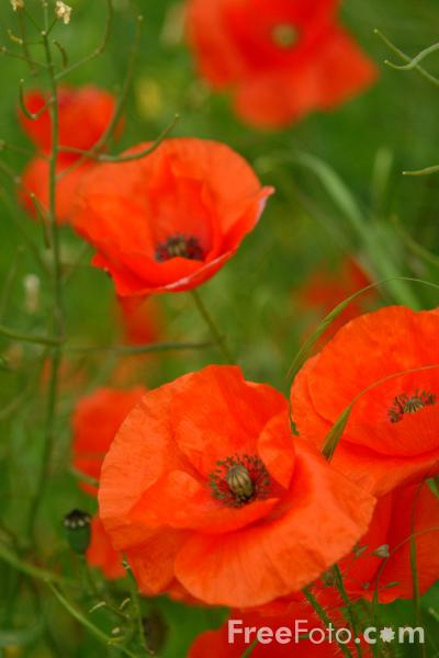 15_35_78---Poppies_web